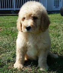 goldendoodle puppy virginia best 25 labradoodle for sale ideas on australian