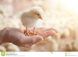 small chicken caring for a small chicken stock photo image 93534055