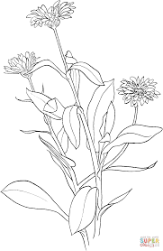 marigold coloring page free printable coloring pages
