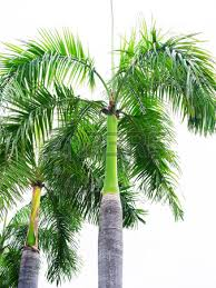 palm king trees with erected stems grown as ornamental plants