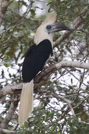 131 best βουκερωσ bucerotidae hornbills images on pinterest