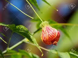 lantern flower physalis alkekengi lantern flower during autumn season