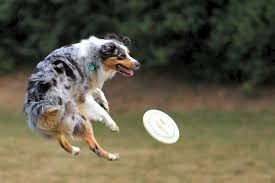 pictures of australian shepherd dogs 55 adorable australian shepherd dog images and pictures