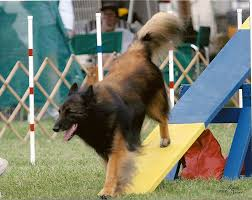 belgian sheepdog national specialty 2014 picture gallery wine country belgian tervuren club