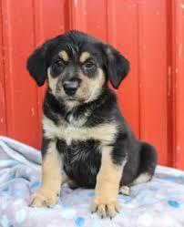 bluetick coonhound labrador retriever mix for sale labrador retriever mix puppies for sale lancaster puppies