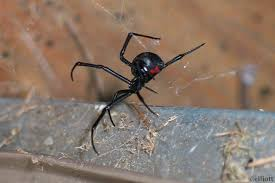 Black Widow Spiders Had A - black widow spider north american insects spiders
