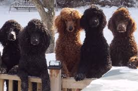poodle vs bichon frise dogs that don u0027t shed 23 hypoallergenic dog breeds