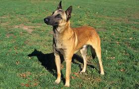belgian sheepdog registry belgian malinois breed information
