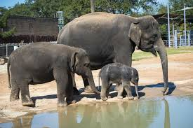 Houston Zoo Lights Prices by Adult Elephants Accidentally Push New Baby Out Of His Houston Zoo