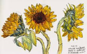 drawn sunflower watercolour pencil and in color drawn sunflower