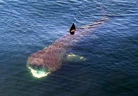humpback whales making a splash on stellwagen bank whales net