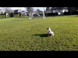 australian shepherd vs brittany brittany dog puppy video funnydog tv