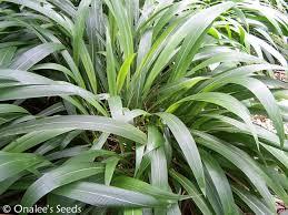 palm grass setaria palmifolia ornamental grass tropical garden
