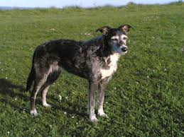 10 dog breeds you can kiss because they u0027re irish lurcher irish
