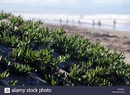 native plants christchurch maori ice plant horokaka disphyma australe coastal creeper