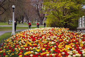 tulips in the capital national capital commission