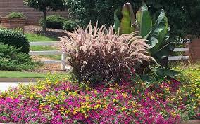 rubrum purple grass 1 gallon ornamental grass annual