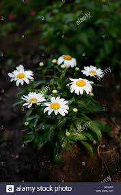 blooming white beauty daisys daisy flowers no not people nobody