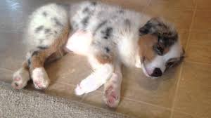 t r australian shepherds australian shepherd puppy fighting sleep zzzz youtube