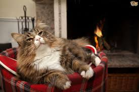 how to help outdoor cats stay warm and safe this winter pets4homes