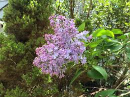 how and when to prune lilacs for bigger blooms dengarden