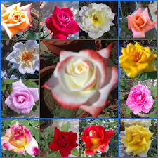 roses colors colors in roses roses flickr