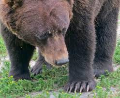 grizzly claws alaskan brown wandering through time and place