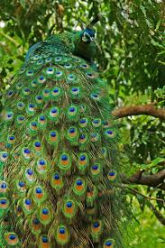 1014 best peacock pretty images on pinterest pavo real peacock