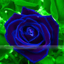 blue roses for sale cheap blue plants for sale find blue plants for sale