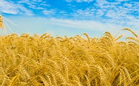 Modern Wheat and the Empath Images?q=tbn:ANd9GcSYAftYgzew7lpumA9yYlMyO3oIcbwxBnk0phjUpb6CIlPxixToWQ