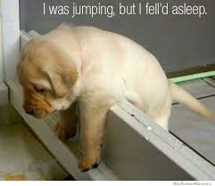 Tired Dog Meme - dog fell asleep what breed is it