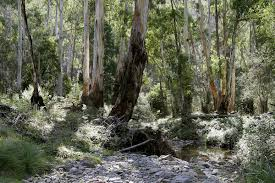 australian native climbing plants the bush wikipedia