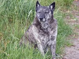 belgian sheepdog illinois dutch sherherd dog photo dutch shepherd dog breed free wallpaper