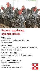 backyard chicken breeds can lay eggs in many fun colors u2013 from
