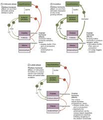 Cell Reproduction Concept Map Answers Anatomy And Physiology Of The Female Reproductive System Anatomy