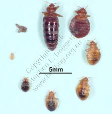How To Make A Bed Bug Trap Description Of Bed Bugs What Are They And What Do They Look Like