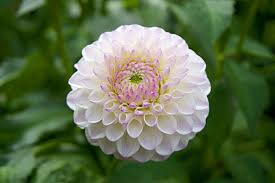 dahlias flowers the beauty of dahlia flower for your garden