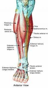 Foot Pain Map Ventral Foot Anatomy Gallery Learn Human Anatomy Image
