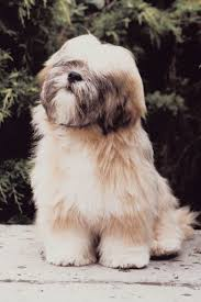 hair cuts for the tebelan terrier lhasa apso hairstyles pets