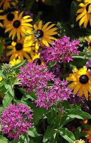 Pentas Flower Considering Pentas Gardening