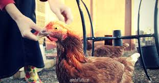 Can You Have Chickens In Your Backyard The Basics Of Keeping Backyard Chickens A Pinch Of Faith