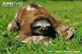 4 toed sloth brown throated three toed sloth photo bradypus variegatus