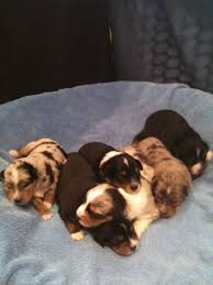 australian shepherd 4 weeks old mini aussie puppies u2013 alangus mini aussies a dog blog