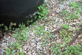 kick mushrooms wipe out weeds and beetle alert this weekend in