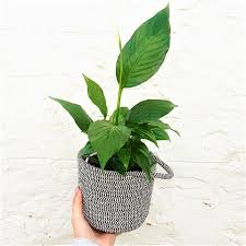peace lily peace lily in woven pot u2014 the flower nook