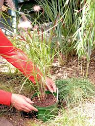 how to plant ornamental grasses hgtv