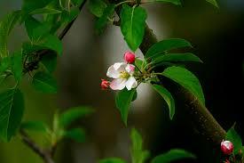 apple tree bloom wallpapers 11432 apple tree branch leaf bud pink spring flower