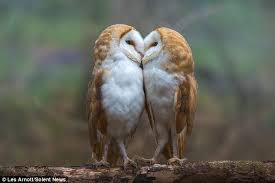 Where Do Barn Owls Live Sisterly Display Of Affection As Barn Owls Are Caught On Camera
