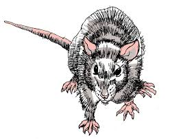 454 best sketches of dormice mice and rats images on