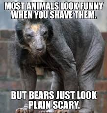 Bears Meme - shaved bear most animals look funny when you shave them but
